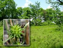 Carex viridistellata