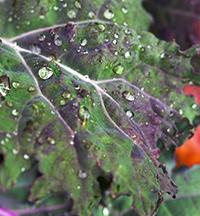 Kale, Five Fridges Farm