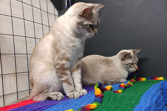 Siamese cats at Animal Rescue New Orleans