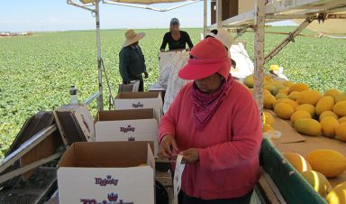 A female farm worker puts produce stickers on melons in a field in California