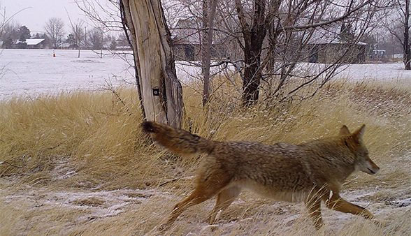 Coyote walking past