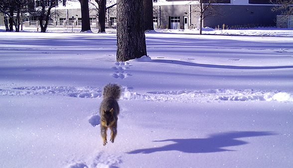 Squirrel jumping in snow
