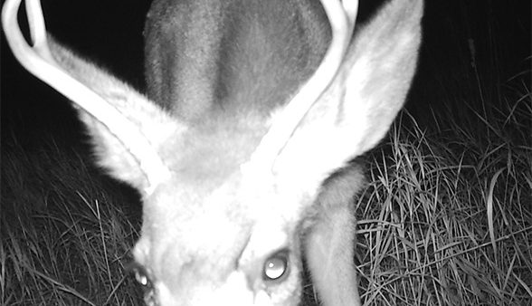 Deer face at night