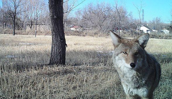 Coyote staring at camera