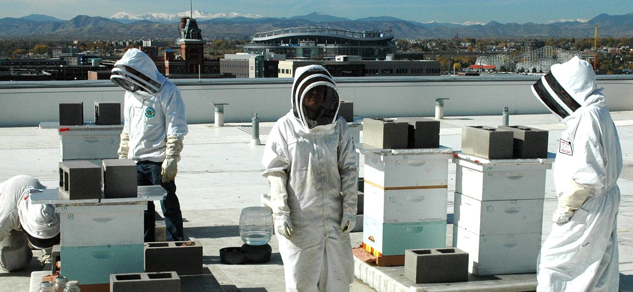 Bees studied at CU Denver