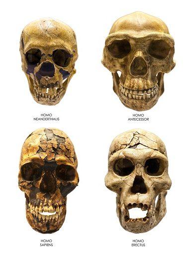 Images of four fossil skulls. Homo Erectus, Homo Sapiens, Homo Neanderthalis and Homo Antecessor.