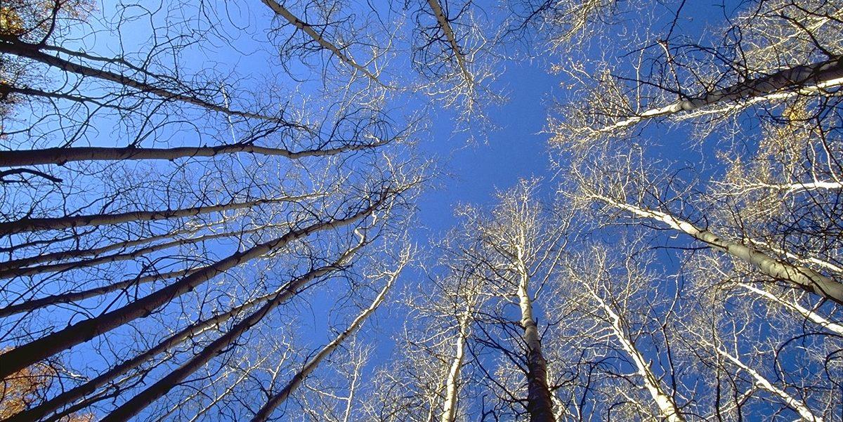 Circle of leafless aspen trees
