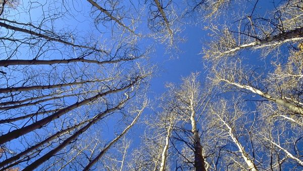 Circle of leafless aspen trees