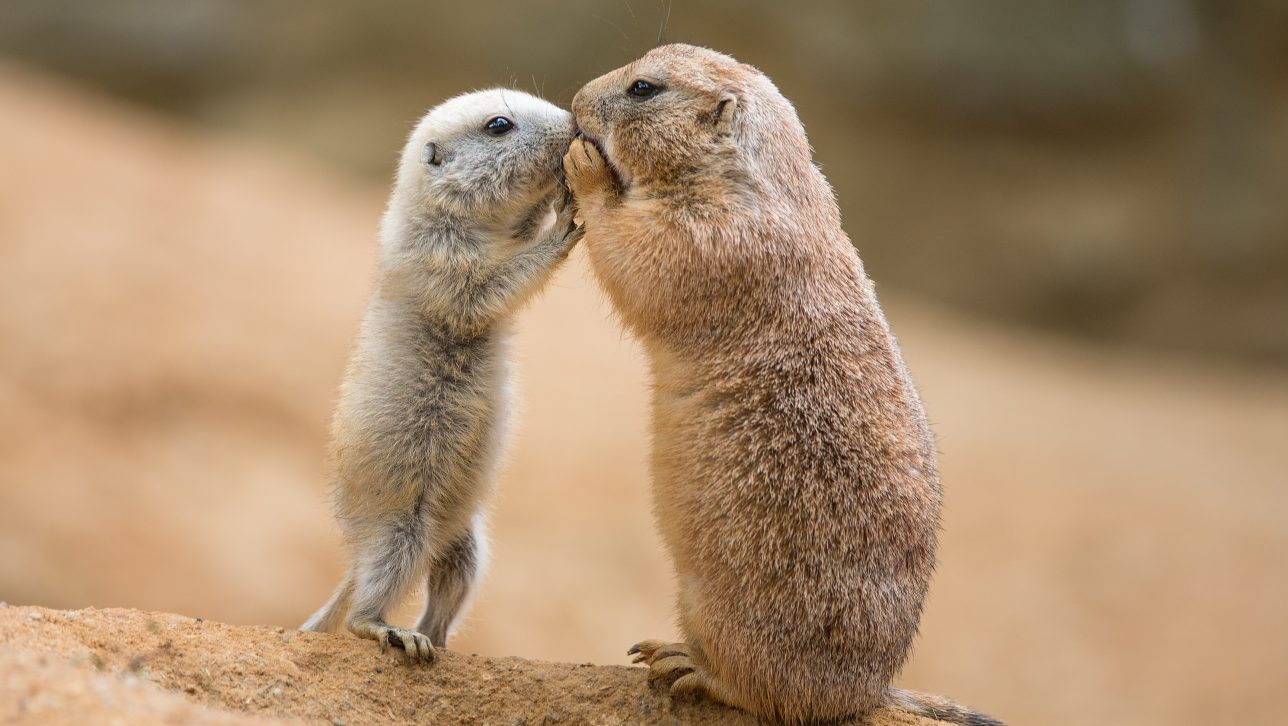 adult and juvenile prairie dogs kissing