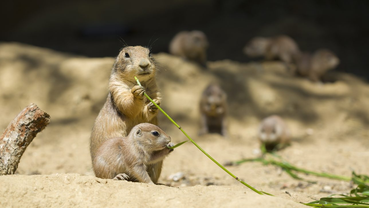 Adult and juvenile prairie dogs eating grass shoots