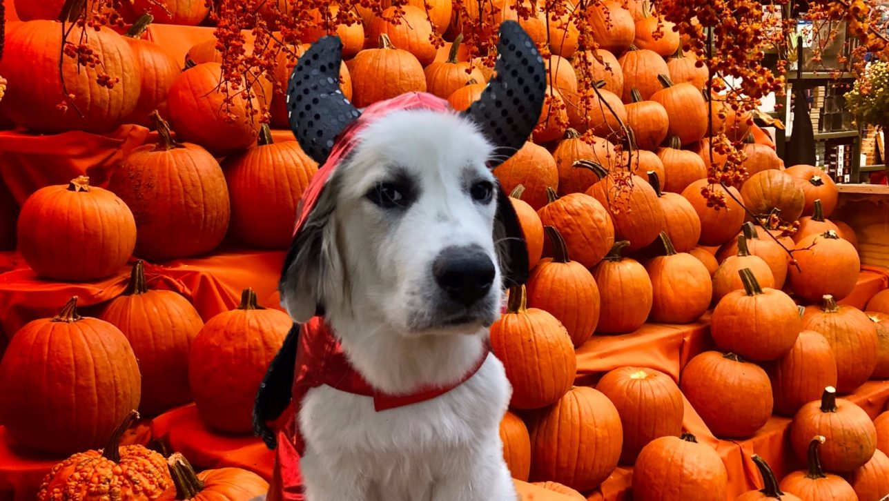 white dog with red and black devil costume sitting with pumpkins