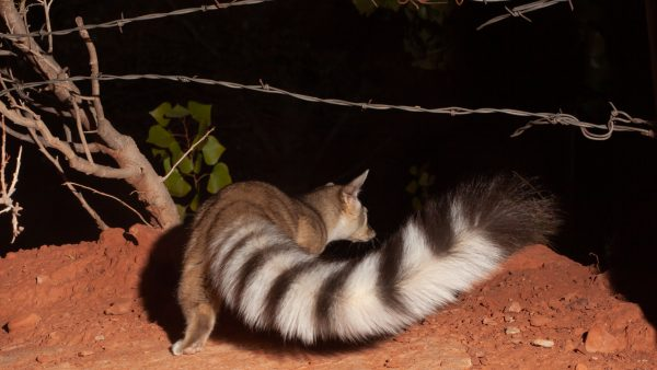 ringtail at night