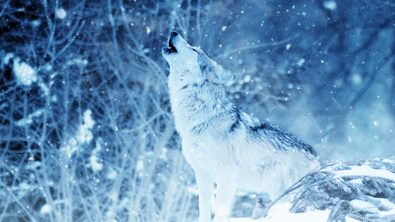 photo of wolf howling in falling snow