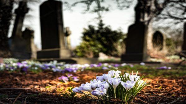 Crocus flowers in a graveyard