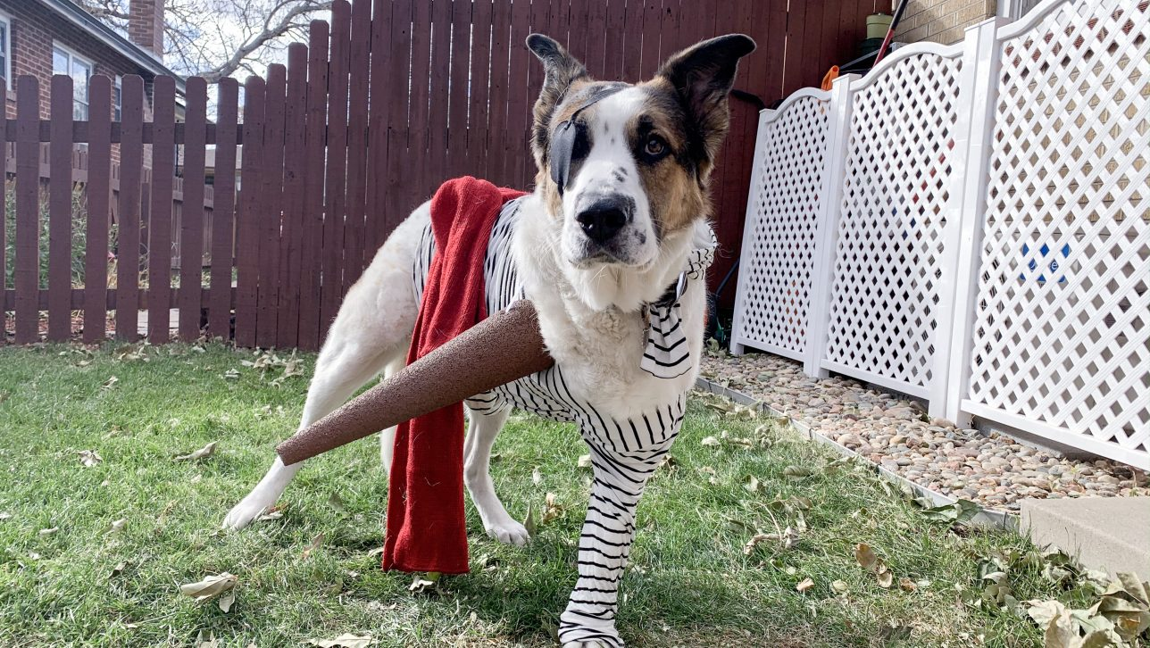 three-legged dog in pirate costume