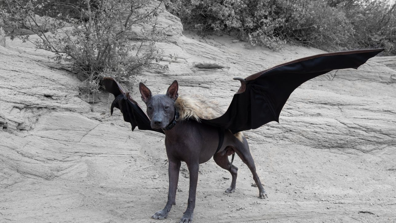 Xolo dog in bat wing costume