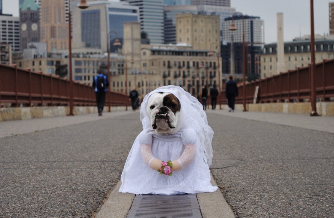 mini bulldog in bride costume