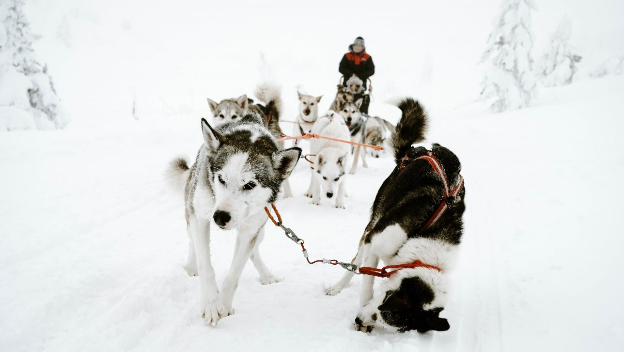 sled dogs in snow; photo by Catalin Sandru via Unsplash