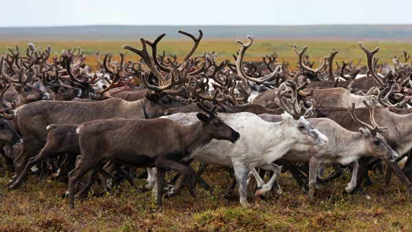 reindeer in the arctic