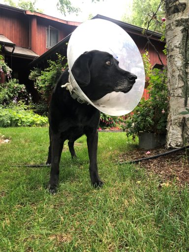 Dog with a cone