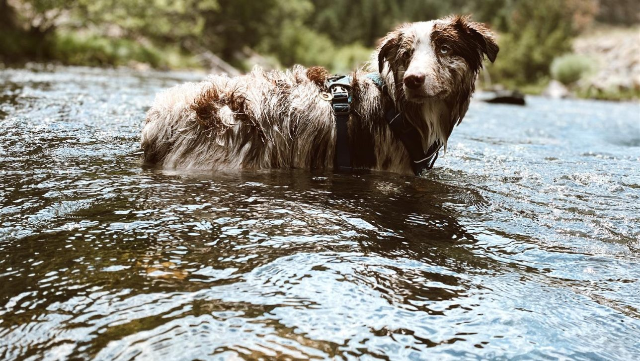 Dog in a river