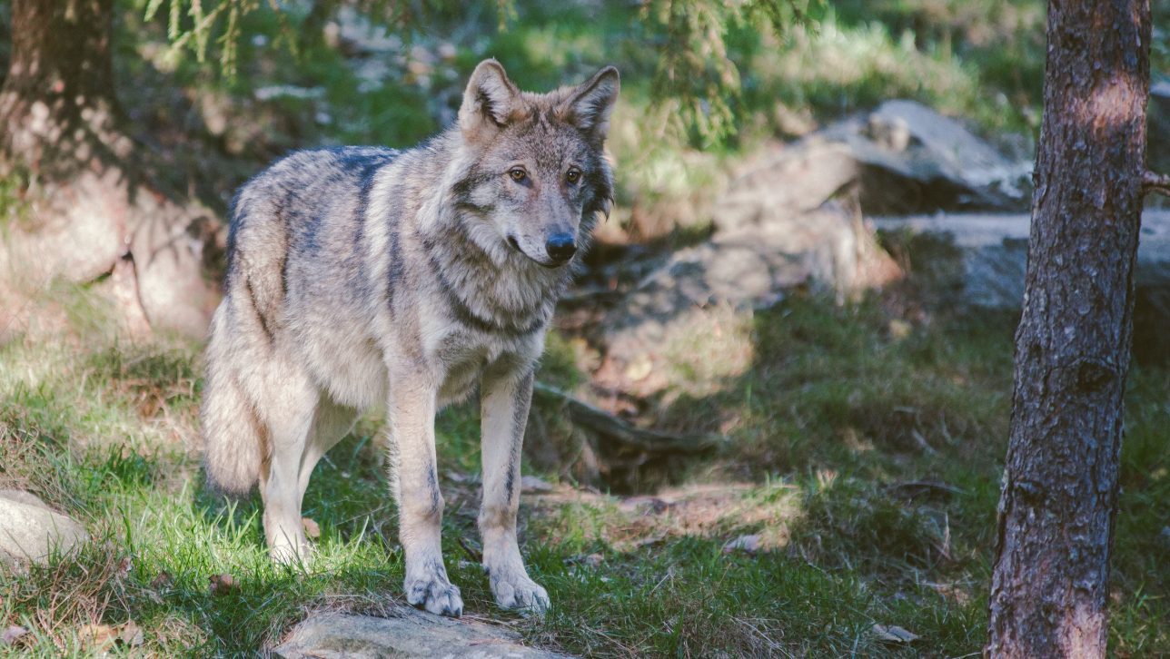 gray wolf; photo by robert larsson via unsplash