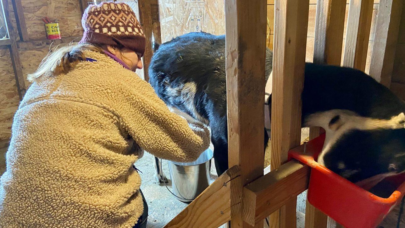 Weaver milking goat