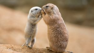 Plague in Denver? Infected prairie dog colonies reflect changes in Denver-area ecosystem