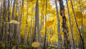 Fall leaves at Independence Pass
